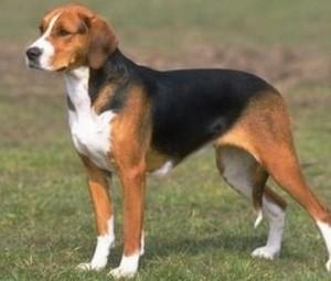 american-foxhound